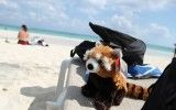 Red Panda on the Beach
