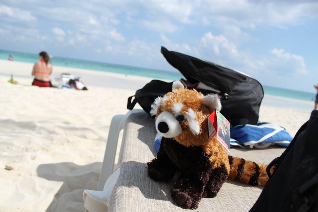 Red Panda on the Beach